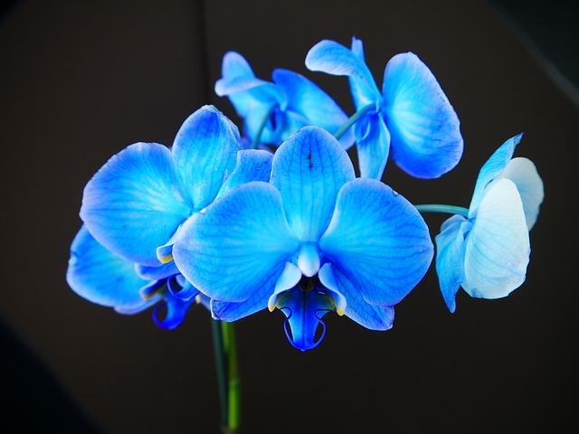 regalar flores azules