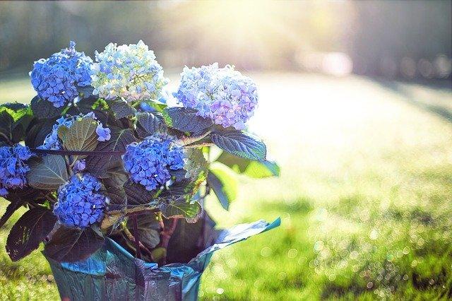 regala flores azules